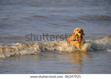 Beautiful male Golden Retriever playing in the waves of the ocean at a sunny day - stock photo