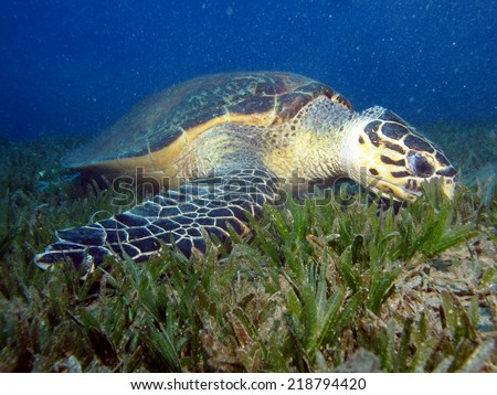 Beautiful male hawksbill turtle (Eretmochelys imbricata) on seagrass  - stock photo