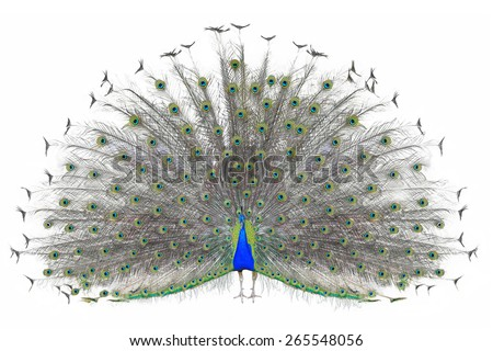 Beautiful Male Indian Peacock Displaying Tail Stock Photo ...