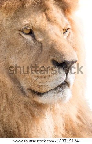 Beautiful male lion crowned with sun..