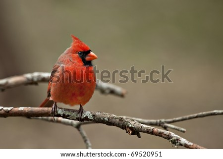 Beautiful male Northern Cardinal sitting on bare limb