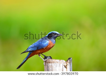 Beautiful Male of Chestnut-bellied Rock-thrush Bird, standing on green glass showing its side profile in nature of Thailand