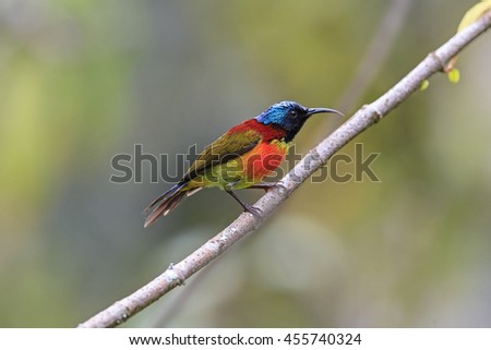 Beautiful Male of Green-tailed Sunbird ( Aethopyga nipalensis ) , on a branch in nature of Thailand