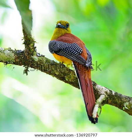 Beautiful male Orange-breasted Trogon Bird (Harpactes oreskios), back profile, taken on the feeding season