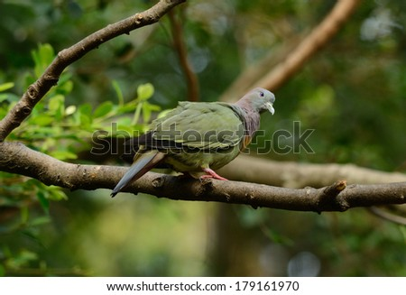 beautiful male Pink-necked Green-Pigeon (Treron vernans) possing on branch
