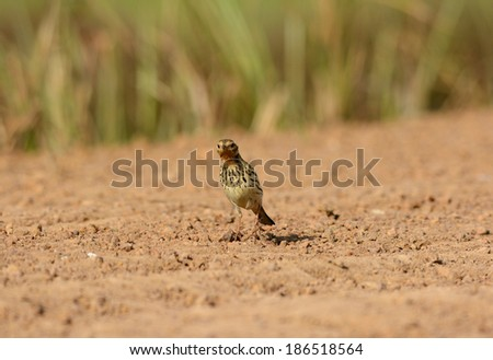 beautiful male Red-throated Pipit (Anthus cervinus) on ground