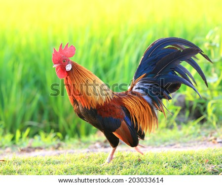 Beautiful Male Rooster on nature background - stock photo