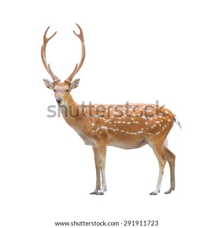 beautiful male sika deer isolated on white background