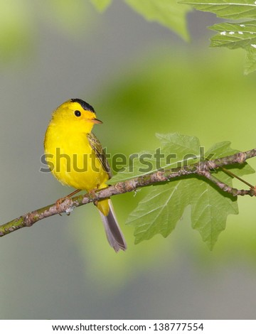 Beautiful male Wilson's Warbler