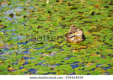 Beautiful Mallard duck female on a pond surrounded by water lilies. - stock photo
