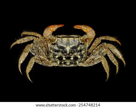 Beautiful Mangrove Crab on black background, Parasesarma pictum - stock photo