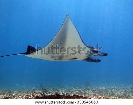 Beautiful manta ray with folded flaps - stock photo