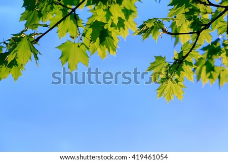 Beautiful maple leaves against the blue sky. Leaves frame