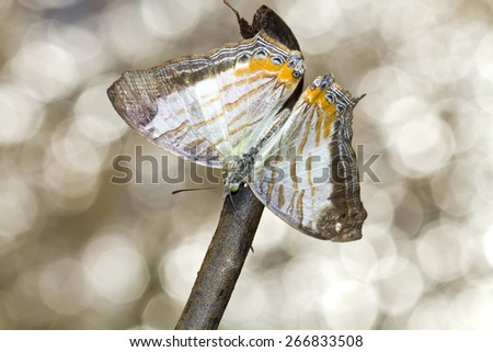 Beautiful Marbled Map butterfly (Cyrestis cocles),Butterfly beautiful bokeh with sunlight. - stock photo