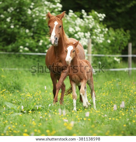 Beautiful mare with its foal running together on pasturage - stock photo
