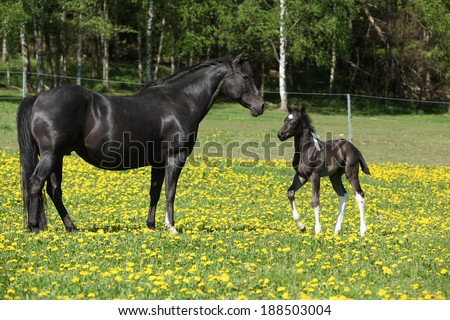 Beautiful mare with little foal together on spring pasturage - stock photo