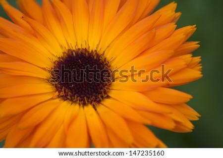 Beautiful marigold - stock photo