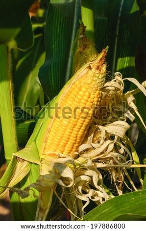 Beautiful maturing corn ears on the stalk - stock photo