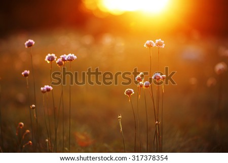 beautiful meadow flowers in field on orange sunset background. Evening autumn outdoor photo - stock photo