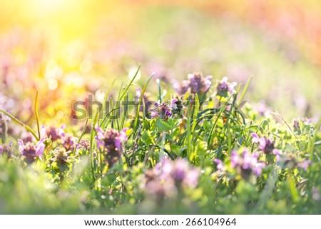 Beautiful meadow in spring - purple flower - stock photo