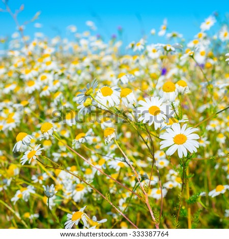 beautiful meadow of green grass and camomiles on blue background, closeup    - stock photo
