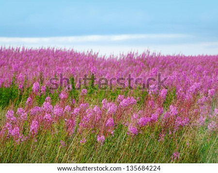 Beautiful meadow of pink wildflowers , Scotland - stock photo