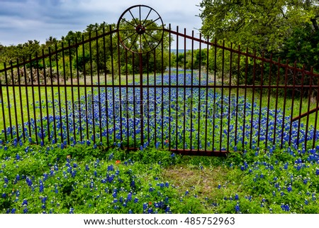 Beautiful Metal Gate with Wagon Wheel on an Old Dirt Road Now Covered with the Famous Texas Bluebonnet (Lupinus texensis) Wildflowers.