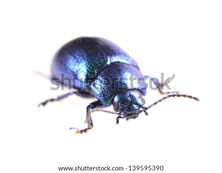 beautiful metallic blue beetle ,Beetle Agelastica alni  - stock photo