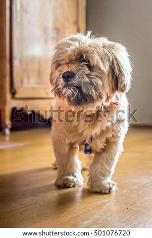 Beautiful milk chocolate havanese dog is going on the floor in the room