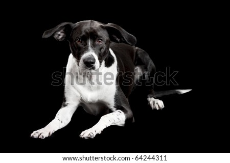 Beautiful mixed breed dog lying and isolated on black background - stock photo
