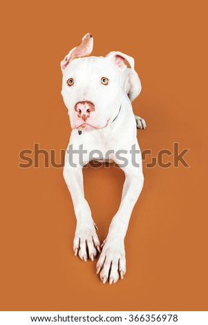 Beautiful mixed large breed dog laying down on a brown studio background - stock photo