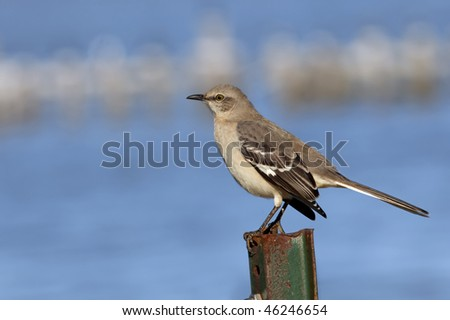 Beautiful Mockingbird standing on green rusted metal post in front of blue and white background