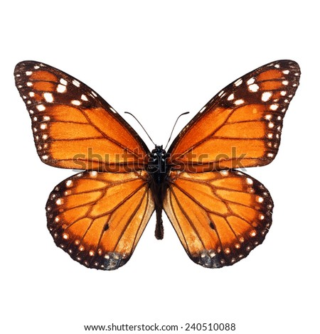 Beautiful monarch butterfly isolated on white background. - stock photo