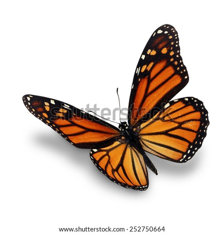 Beautiful monarch butterfly isolated on white background.
