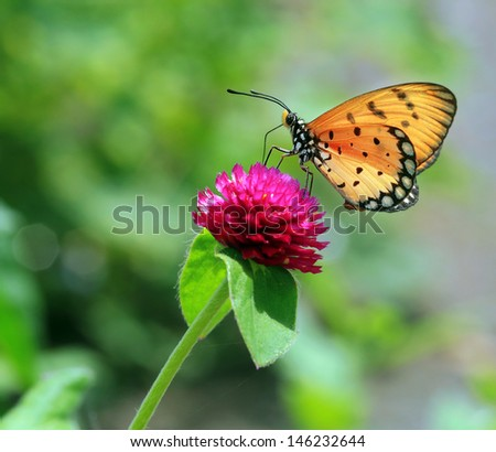 Beautiful Monarch butterfly onfeeding on pink flower with nature background