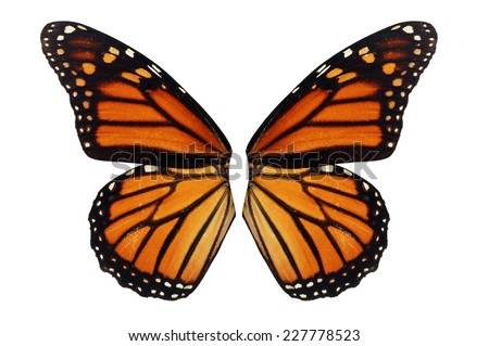 Beautiful monarch butterfly wing isolated on white background.