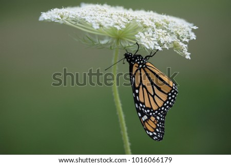 Beautiful Monarch (Danaus Plexippus) butterfly hanging on to a white Queen Anne's Lace flower while its' wings harden.