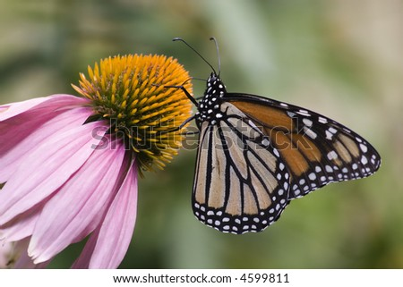 Beautiful MonarchButterfly on Cone Flower