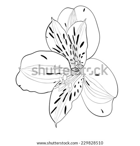 beautiful monochrome, black and white Alstroemeria flower isolated. Hand-drawn contour lines and strokes. additional format in the profile of the artist - stock photo