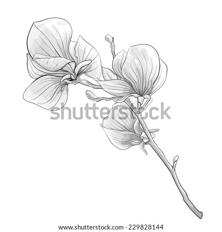 beautiful monochrome, black and white twig blossoming magnolia tree. flower isolated. Hand-drawn contour lines and strokes. additional format in the profile of the artist - stock photo