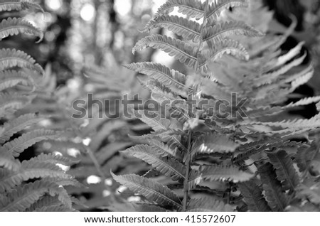 beautiful monochrome fern plant in the summer forest