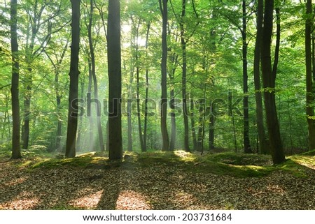 Beautiful moring in beech forest - stock photo