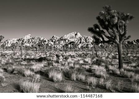 Beautiful morning scene in Joshua Tree National Park, California. - stock photo