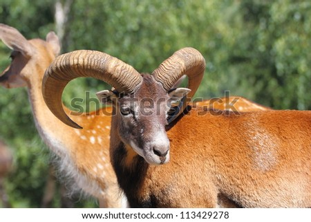 beautiful mouflon ram standing with a herd of fallow deers in an animal enclosure - stock photo