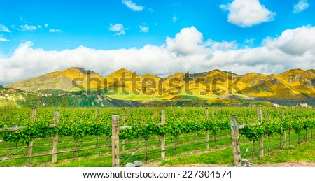 Beautiful mountains of New Zealand covered by blooming yellow gorse (Ulex europaeus) and winery in the front - stock photo