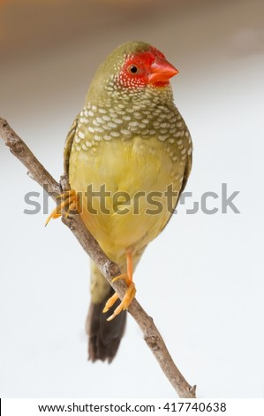 Beautiful multi colored Gouldian finch bird from Australia - stock photo