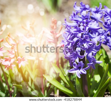 Beautiful multicolored hyacinths in garden. - stock photo