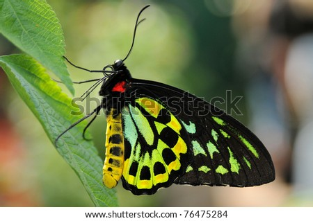 Beautiful multicolored male Cairns Birdwing butterfly on a fresh green leaf