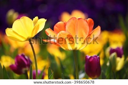 Beautiful multicolored tulips, bright sunny scene with backlight - stock photo