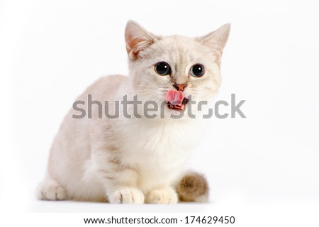 beautiful munchkin cat in studio on white background